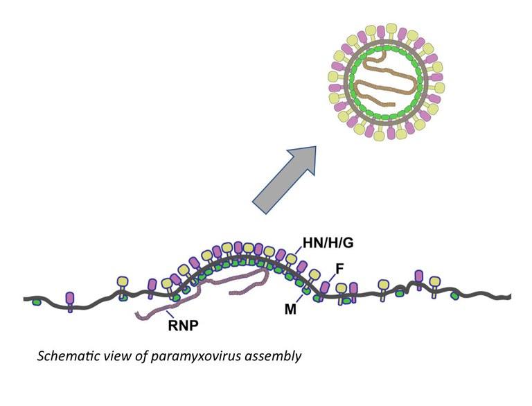 Paramyxovirus assembly